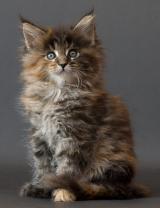 maine-coon-kitten
