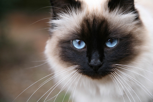 chat-birmanie
